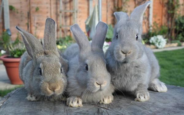 Три больших кролика