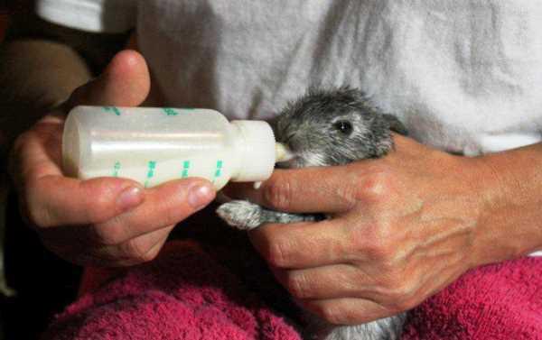 Кормление кролика из бутылочки