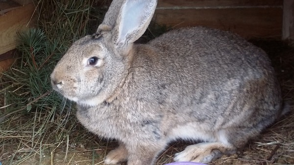 Кролик в старости