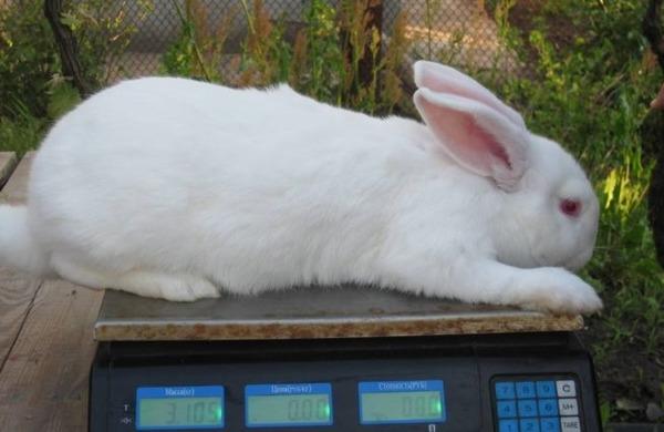 Кролик теряет вес