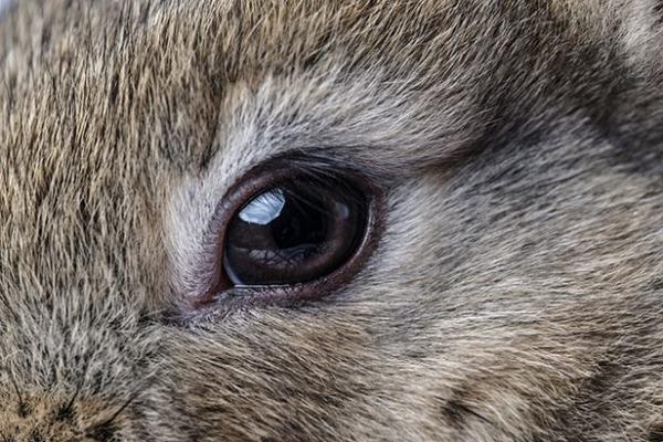 Слезоточивость глаз у кроликов