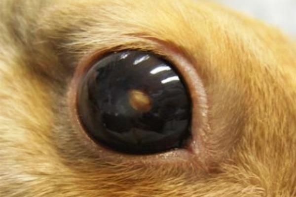 Выпячивание глазного яблока