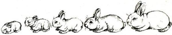 Рост и развитие крольчонка