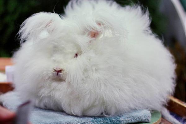 Длинношерстный ангорский кролик