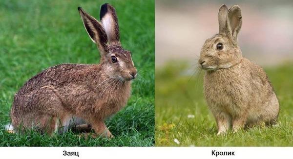 Кролик и заец