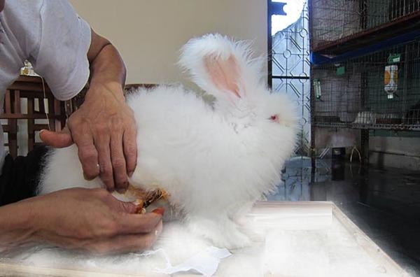 Мастит кролика