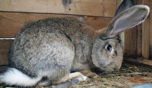 Боль в животе у кролика