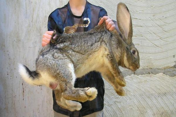 Вес кролика