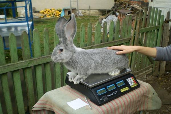 Средний вес кролей