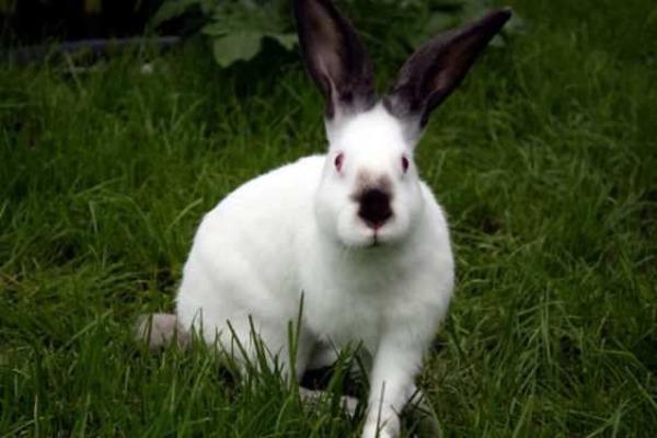 Горностаевый кролик