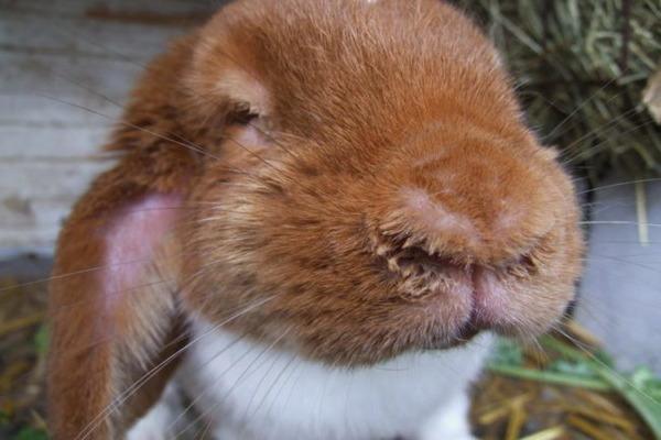 Лечение кроликов от глистов