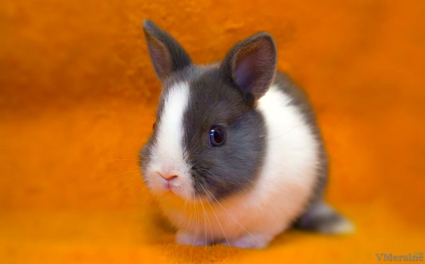 Кролик голландский карликовый