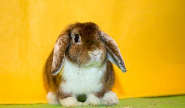 Кролик голландский вислоухий