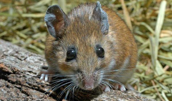 Крысовидный хомячок в природе