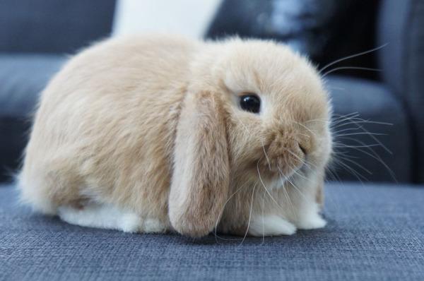 Крольчонок карликовый баран