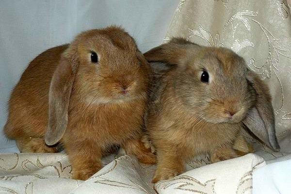 Кролик породы Карликовый русак