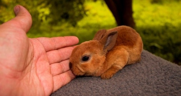 Крольчонок карликовый рекс