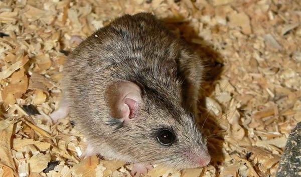 Крысовидный хомячок в домашних условиях