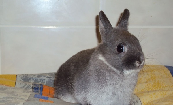 Короткошерстный карликовый крольчонок