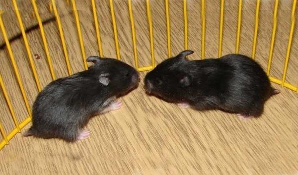 Маленькие черные хомяки в домашних условиях
