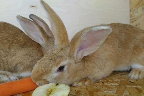 Кролик кушает морковку