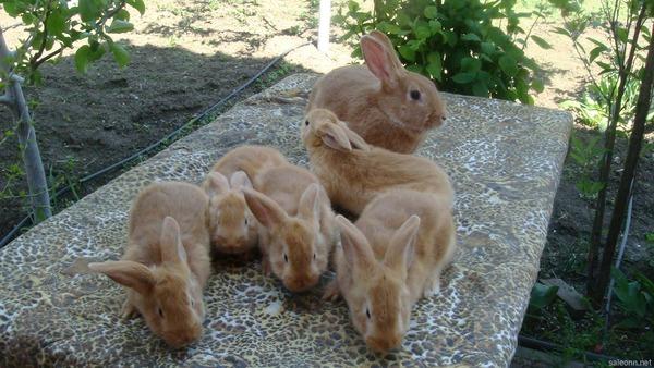 Крольчиха и выводок
