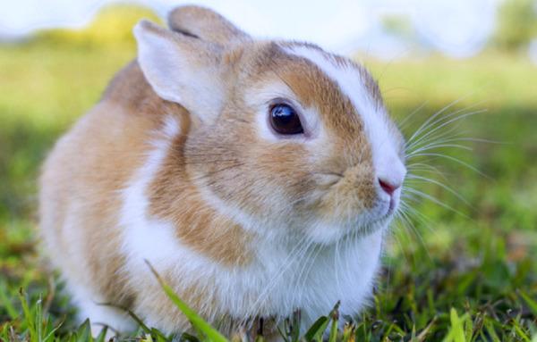 Польский кролик