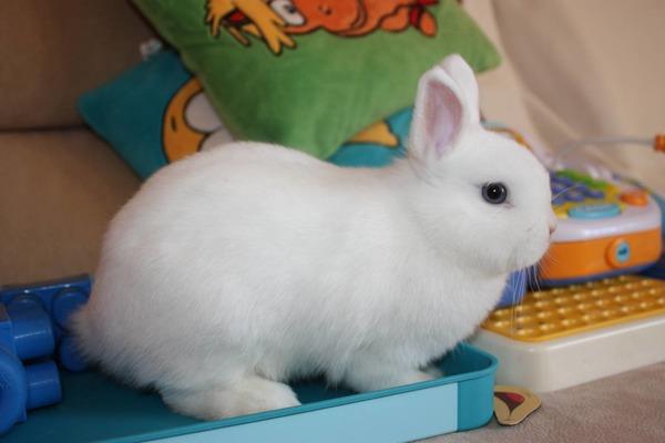 Домашний кролик Гермелин