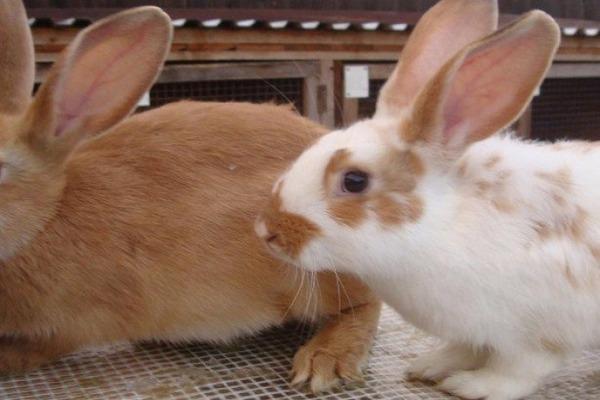 Разновидность кроликов