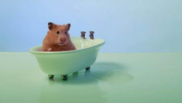Сирийский хомяк в ванне