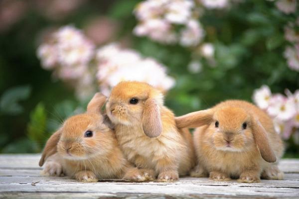 Домашняя порода кроликов