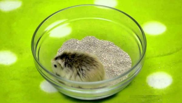 Купание хомячка в песке