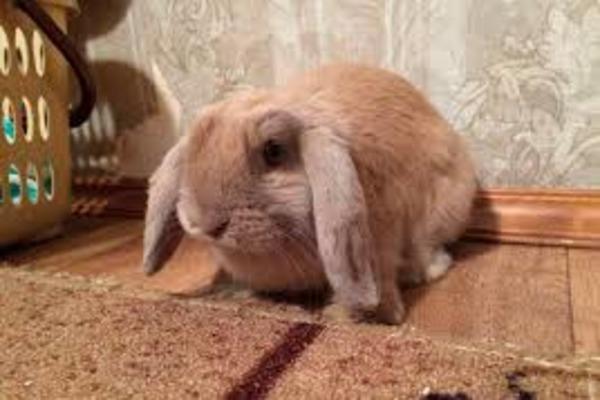"""Порода кроликов """"баран вислоухий"""""""