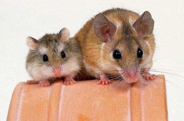 Мышь и хомяк