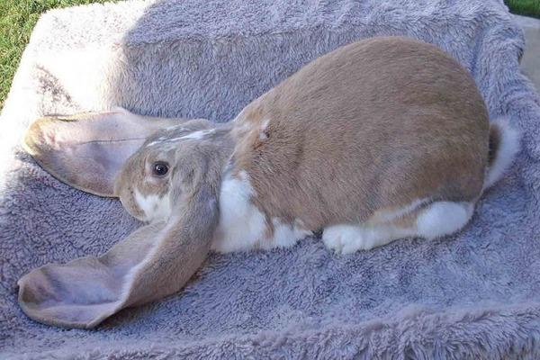 Прирученный кролик