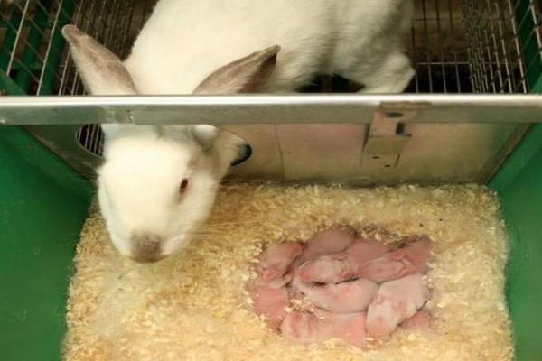 Пересадка крольчат