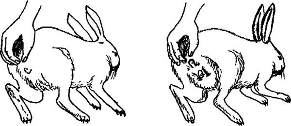 Отличия между самцом и самкой кролика