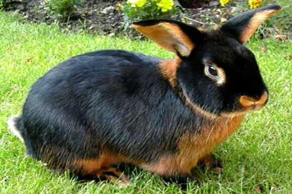 Черно огненный кролик