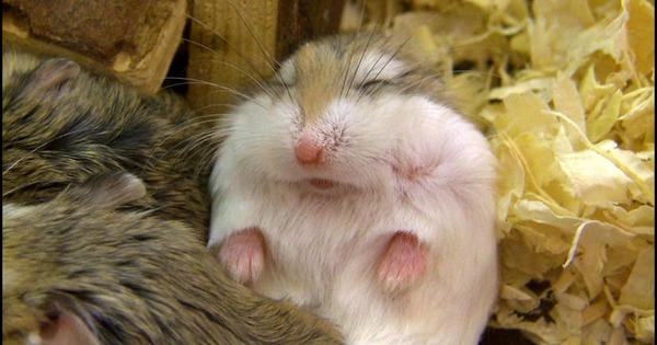 Спящий хомячок