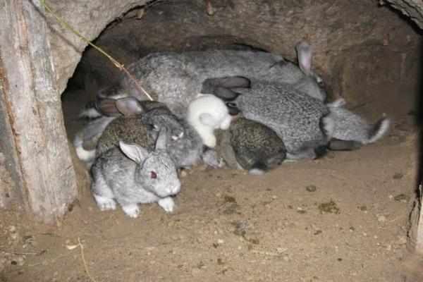 Крольчата породы