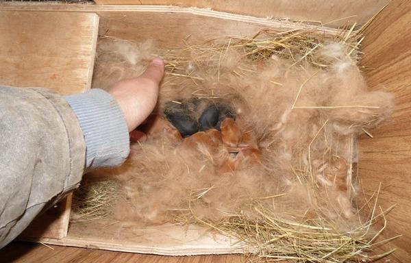 Маточник крольчихи с выводком