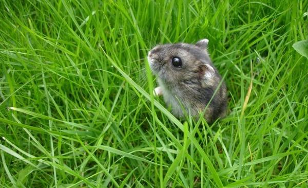 Грызун в траве