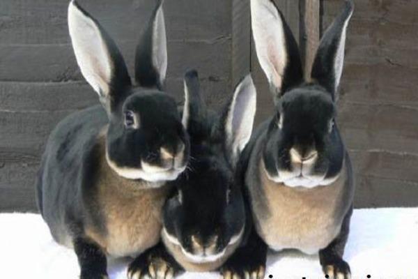 Правильное разведение кроликов