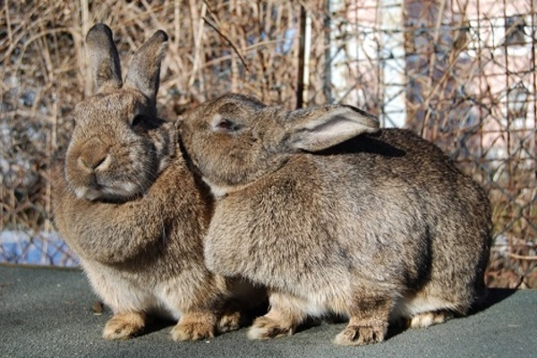 Кролики кусаются между собой
