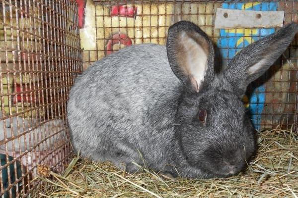 Мясная разновидность кроликов