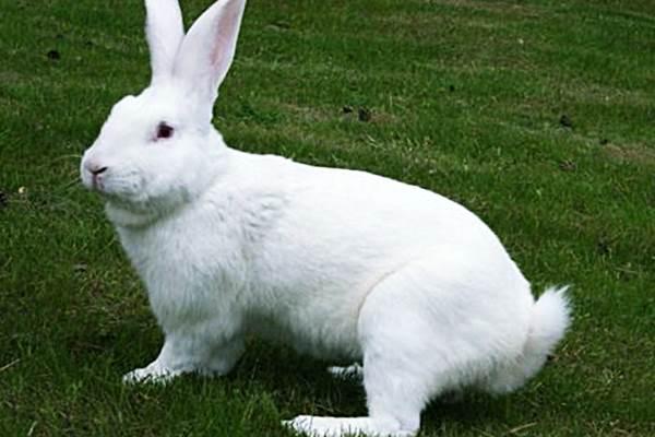 Уход за беременной крольчихой