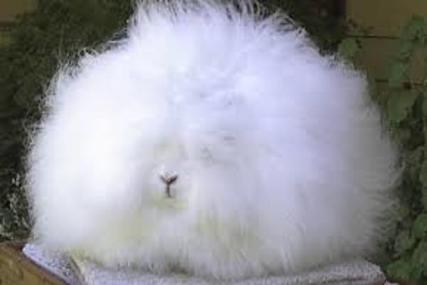 Порода пуховых кроликов