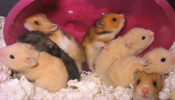 Маленькие сирийские хомячки