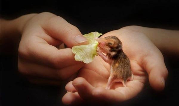 Маленький хомяк на руке ест капусту