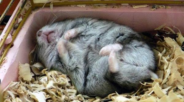 Спящий джунгарик